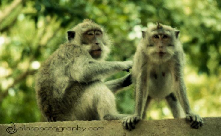 monkey park, Cakranegara, Lombok, Indonesia, SE Asia